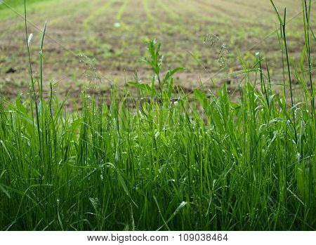 Wet Grass , Sown Fields In The Background