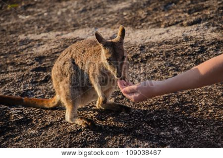 Rock Wallaby, feeding