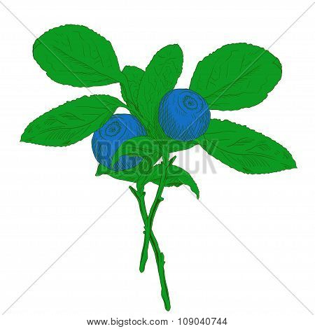 Hand drawn branch of colorful vector blueberry with two berries.