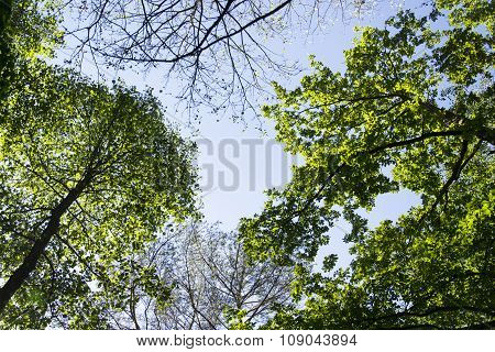 Bright Green New Spring Foliage Growing On High Branches Treetops Of Verdant Forest With Clear Blue