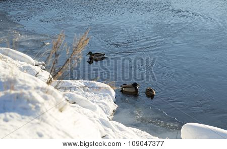 Mallards In River In Winter