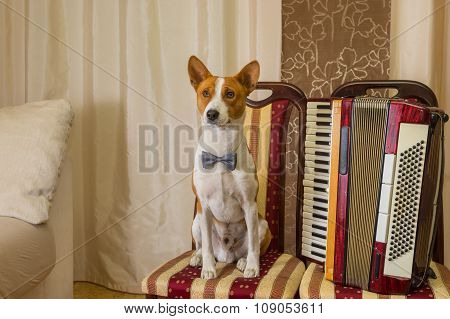Adorable basenji dog wearing bow tie sitting on a chair next to an accordion