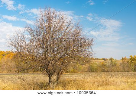 Wild branchy apple tree on the on the edge of agricultural field