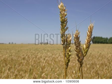 Wheat Ears Ready For Crop
