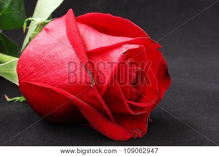 Big Red Rose Bud