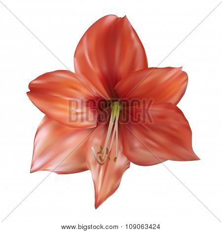 Lily Flower Vector