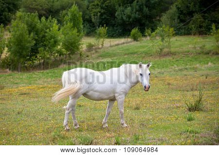 White Horse In A Green Field Of Grass