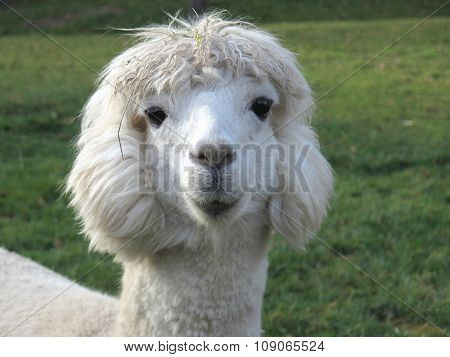 Head of cute white Alpaca, Llama