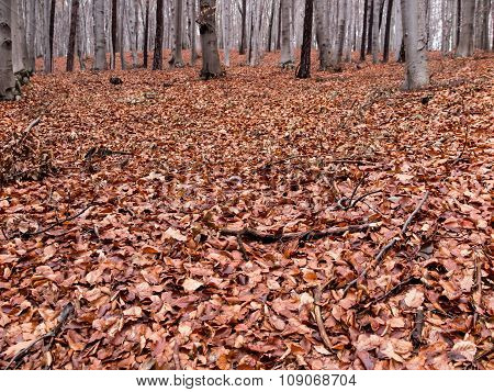 Wet Beech Leaves Fallen To The Ground As The Background