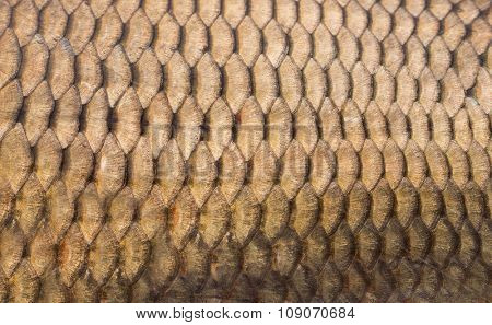 Fish scales background close up