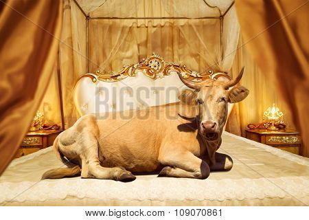 Cow lies on classical bed in a contemporary setting