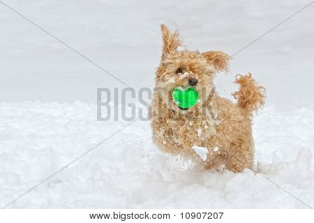 A little cockapoo dog playing in the snow