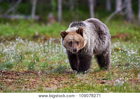 Brown Bear Walking In The Taiga