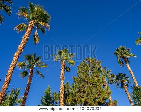 Palm trees in Palm Desert
