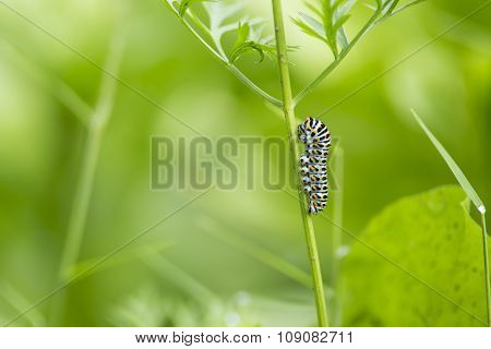 beautiful catterpillar attached on a blade of grass