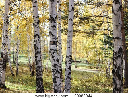 Trunks Of Birches