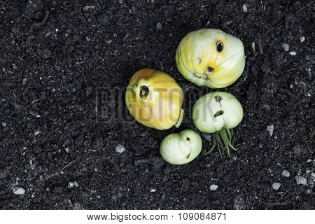 rotten tomatoes on ground with nasty holes with. caterpillar carving inside