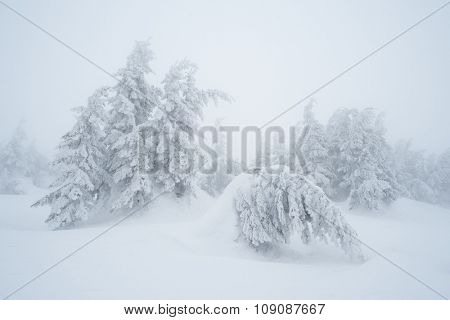 Christmas landscape. Fir trees in snow. Cloudy day with mist. Carpathians, Ukraine, Europe