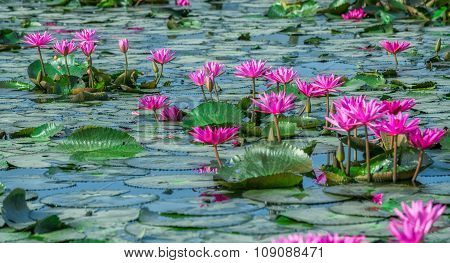 Path waterlily