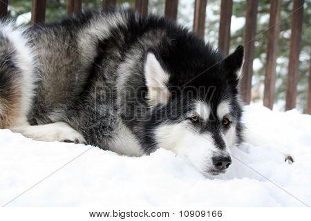 Schläfrig Snow Dog