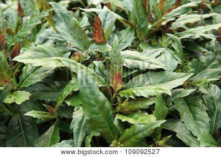 green gynura bicolor in growth at gardden