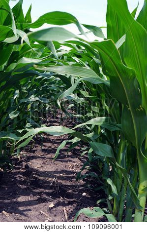 Between Rows of Corn Plants