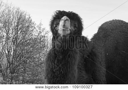 big two-humped camel, black and white photo