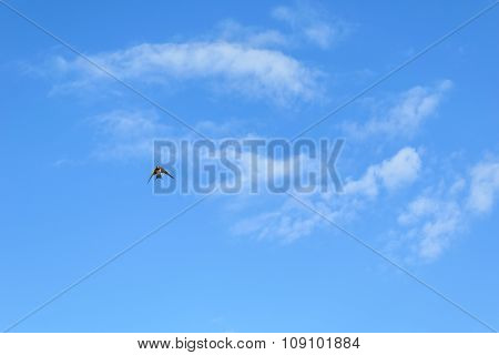 Swift In Small Cloudy Sky