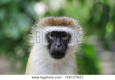 Vervet Monkey, National Park Of Kenya