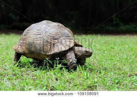 African Spurred Tortoise In Grass