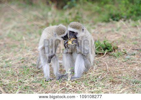 Vervet Monkey Eat Apple