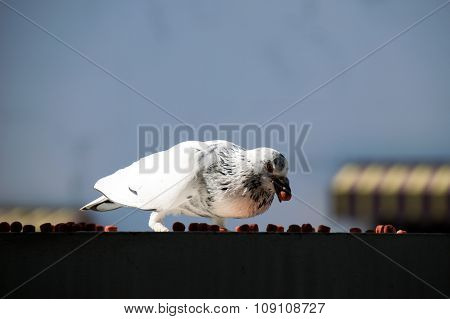 Single Bird eating - Rock pigeon or Rock dove