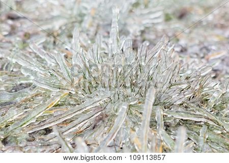 Tussock Icy Grass On A Winter Day, Close-up
