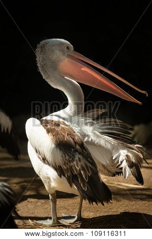 Excellent beak detail is shown. The Australian pelican, (Pelecanus conspicillatus) is widespread on the inland and coastal waters of Australia and New Guinea.