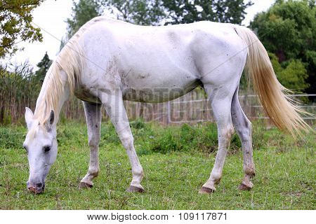 Thoroughbred Arabian Grey Horse Grazing Fresh Green Grass