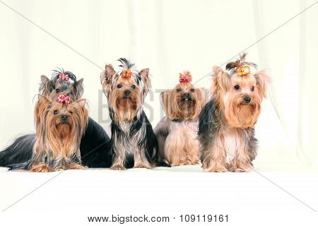 Many_Small_Dogs
