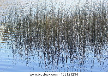 Rushes Reflected In A Lake