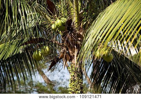 Coconut Tree And Coconuts