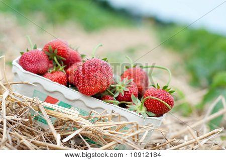 frisch gepflückten Erdbeeren