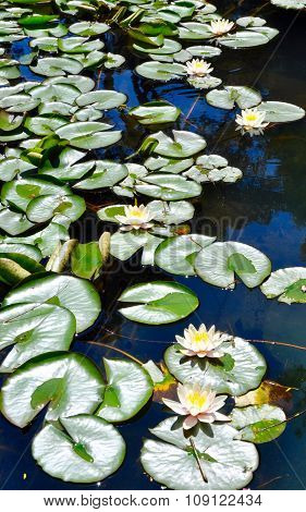 Blossoms among the Lily Pads