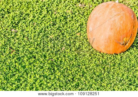 pumpkin on the green grass