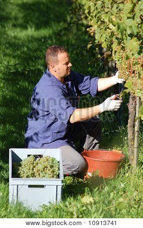 Vintner In The Wineyard