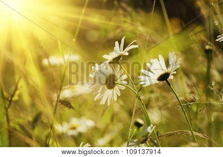 Wild camomile flowers