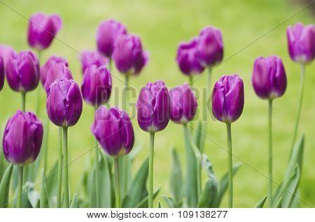 Violet tulip flowers