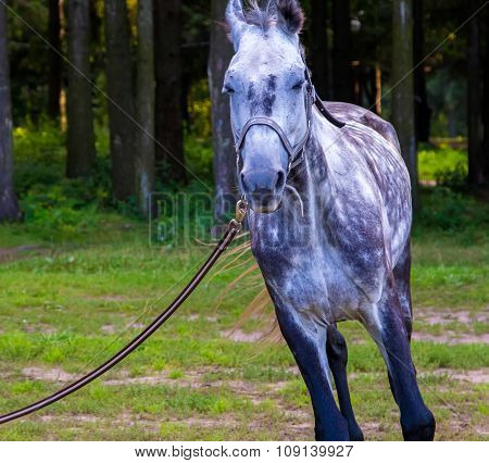 Grey horse running near forest with lead close up