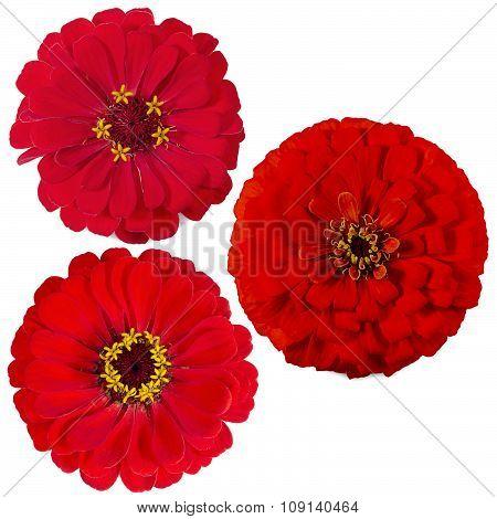 Three Of The Zinnia Flower