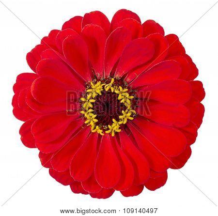 Flower The Zinnias