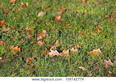 oak leaves in the grass