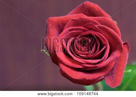 Flower Of Red Rose