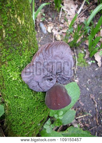 Wood or jews ear fungus